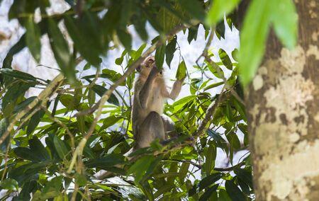 dusky: Monkey inside green trees in Phuket, Thailand