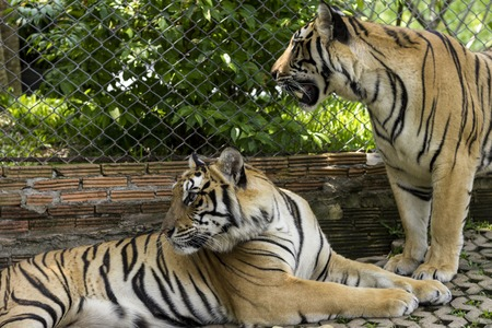 animals in the zoo: Dos tigres en templo del tigre, Chiang Mai, Tailandia