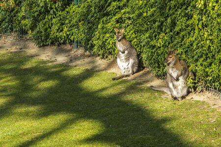 joey: Two kangaroos in a park in Paris in France