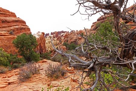the devils garden: Dead tree on Devils Garden Trail, Arches National Park, USA