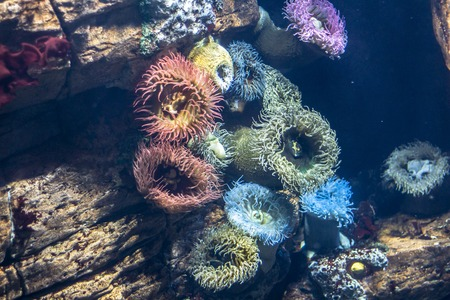 oceanario: Anemones in aquarium of the oceanario in Lisbon