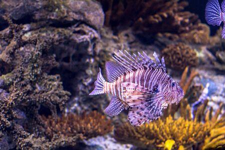 Colorful purple fish in aquarium of oceanario in Lisbon