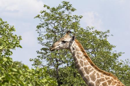 rsa: Giraffe standing inside Kruger Nationalpark in South Africa