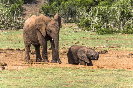 Elephant mother with child in Addo Elephant Park. South Africa Stock Photo