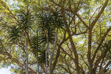 Kirstenbosch 식물원, 케이프 타운의 나무