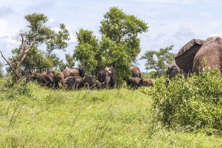 Elephant family hiding in shade in Kruger Park Stock Photo