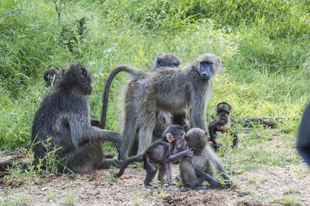 Monkey family near street inside Kruger National Park, South Africa