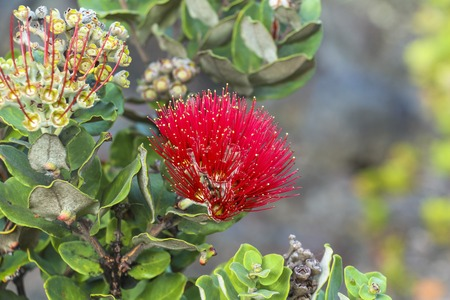 Red flower in Volcano National Park, Big Island Hawaii