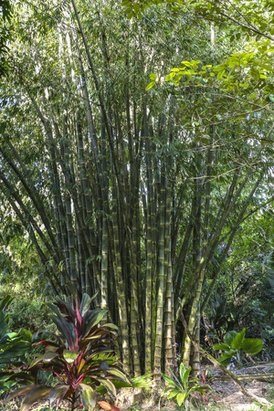 Big bamboo trees on Maui island, Hawaii