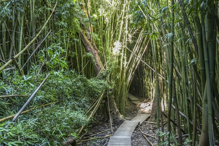 Wonderful path through tall bamboo trees, Maui, Hawaii