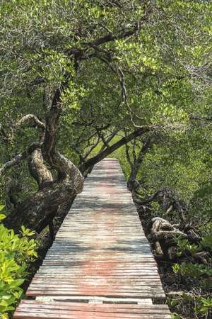 Path through mangrove forest on Koh Chang in Thailand