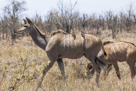 Female Kudus with small birds in dry Kruger Park
