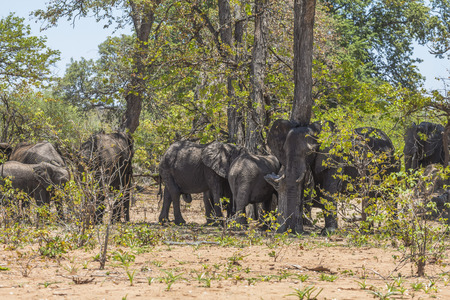 Elephant group under trees in Kruger Park