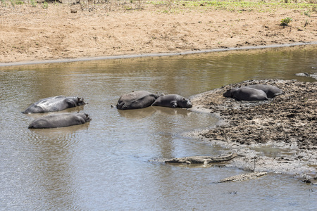 Hippos together in the water in Kruger Park