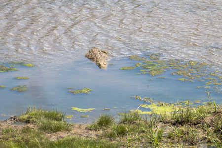 Crocodile walking into the water in Kruger Park