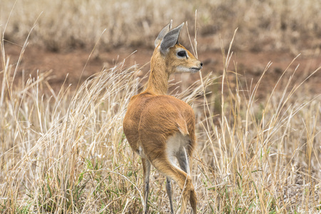 Steenbock in dry grass of Kruger Park, South Africa