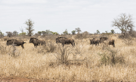 Wild animals in the dry steppe of Kruger Park Stock Photo