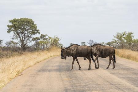 Animals crossing street in Kruger Park