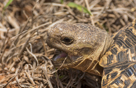 Turtle eating in the grass, Kruger Park