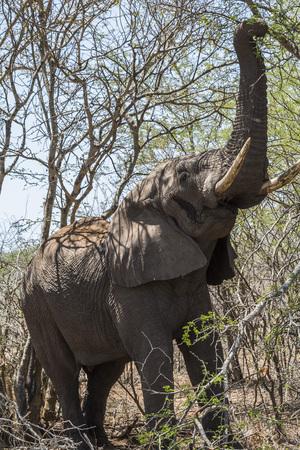 Elephant eating leaves from tree, Kruger Park
