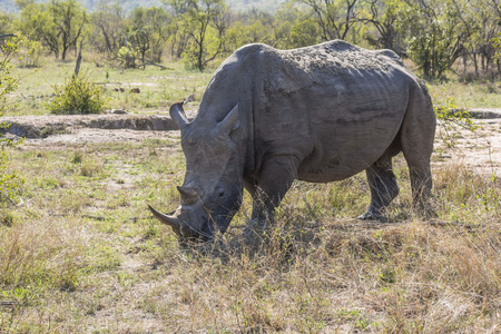 Rhino eating in the grass of Kruger Park