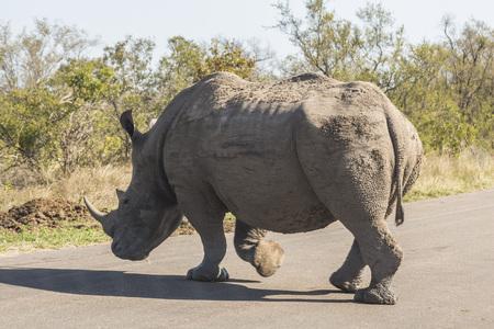 Rhino crossing street in Kruger Park