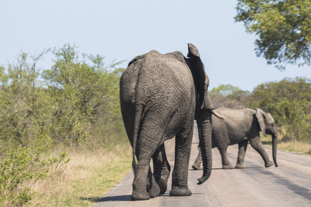 Elephants walking on street in Kruger Park Stock Photo