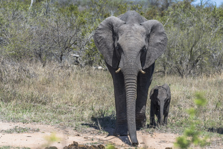 Mother with baby elephant in Kruger Park
