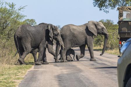 Elephants and safari cars on street, Kruger Park Stock Photo