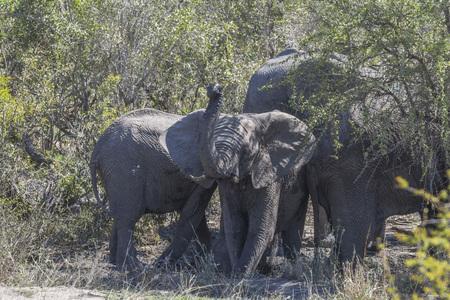 Elephant mud bath in Kruger Park