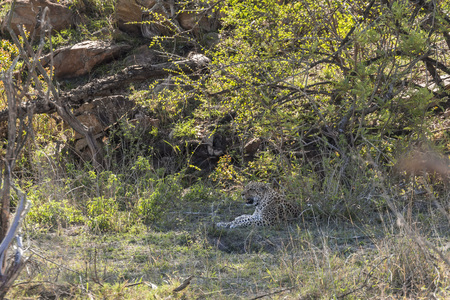 Leopard sitting in the grass on hot day, Kruger Park