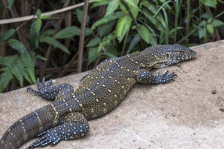 Big lizard on stone in St. Lucia South Africa