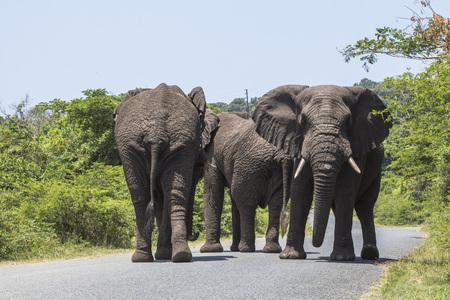 Big elephants walking on street in St. Lucia wetlands park Stock Photo
