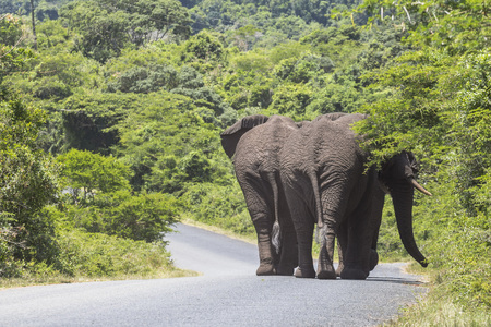 Big elephants walking on street in St. Lucia wetlands park Stock Photo