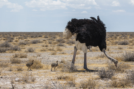 Ostrich with youngs in Etosha Park, Namibia Stock Photo