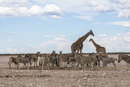 Giraffes and Zebras drinking at waterhole, Etosha Park