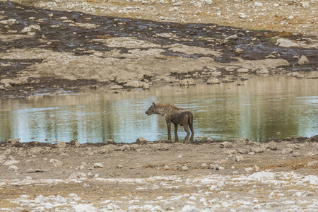 Hyena on waterhole in Etosha Park, Namibia Stock Photo