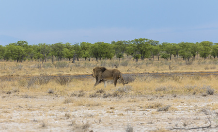 Lion in steppe of Etosha Park, Namibia