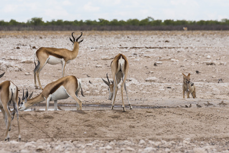 Antelopes drinking from waterhole, Etosha Park