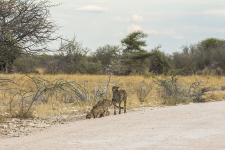 Cheetahs on the road of Etosha Park, Namibia