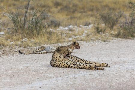 Cheetah rests on the road in Etosha Park, Namibia Stock Photo