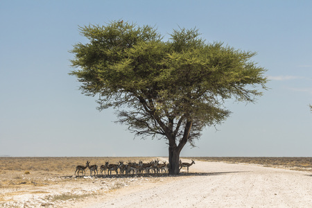 Antelopes hiding in shade of big tree in Etosha Park Stock Photo