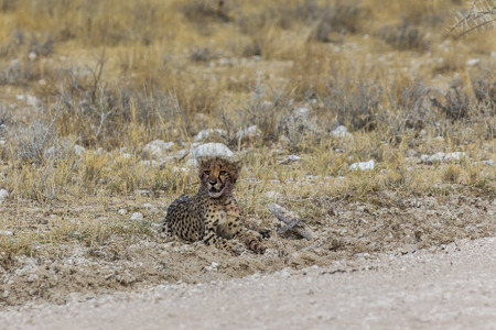 Young cheetah near the road in Etosha Park, Namibia