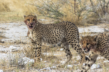 Cheetahs after eating with blood in mouth, Etosha Park