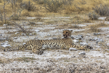 Cheetah lying in steppe of Etosha Park, Namibia Stock Photo