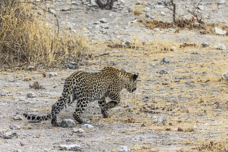 Leopard walking in steppe of Etosha Park
