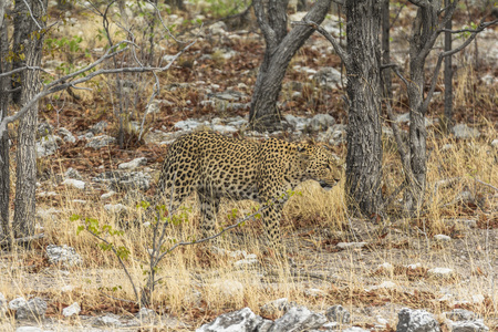 Leopard in the dry grass of Etosha Park