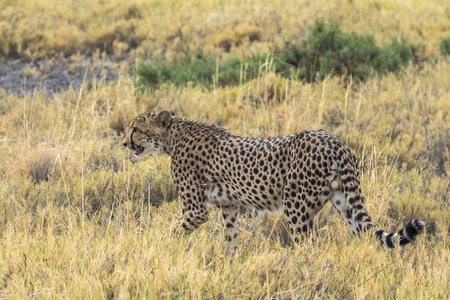 Cheetah in the grass of Etosha Park, Namibia Stock Photo - 120562469