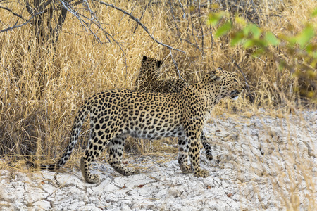 Leopards in the dry grass of Etosha Park Stock Photo