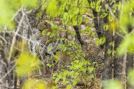 Leopards in the bush of Etosha Park